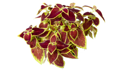 ingredient - coleus